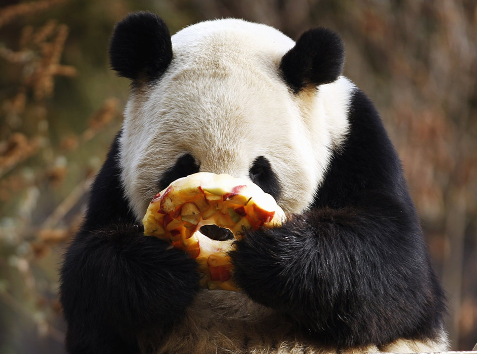 Giant Panda Eating Pancake in Dujiangyan Base