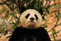 The Adorable Giant Panda