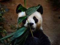 China Giant Panda And Bamboo