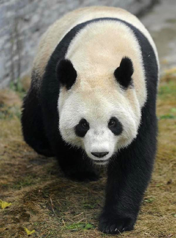 The old-aged Giant Panda
