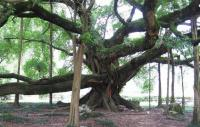 Ancient Banyan Tree