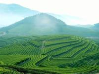 Anxi Oolong Tea Field in China