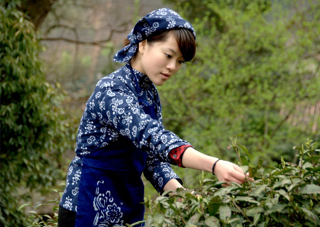 Anxi Tea farm tea leaves picking