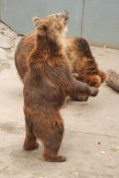 Brown Bear in Beijing Zoo