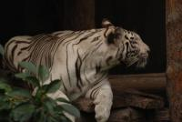 White Tiger in Beijing Zoo