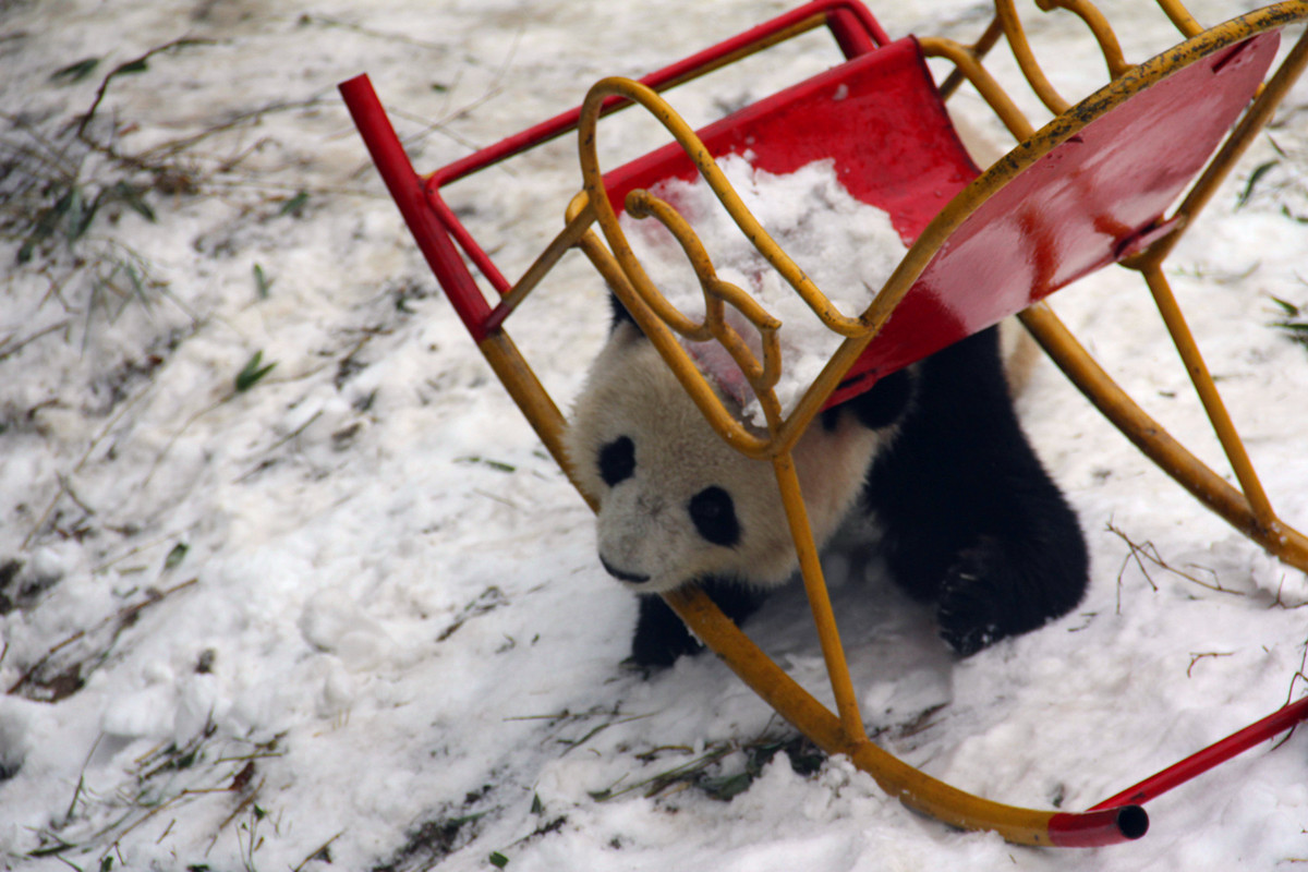 Giant pandas in winter