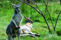 kangaroos in Beijing Zoo China