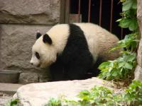 Panda in Beijing Zoo