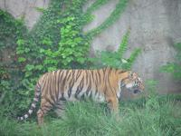 Tiger in Beijing Zoo