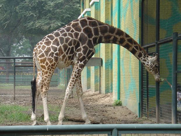 Giraffe in Beijing Zoo