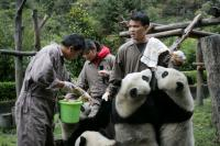 Panda volunteer program in Dujiangyan Base
