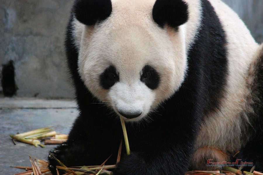 See the giant panda at Chengdu Research Base of Giant Panda Breeding
