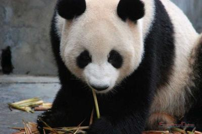 Giant Panda Are Eating Bamboo