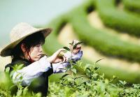 Lunshan Yunwu Tea Picking