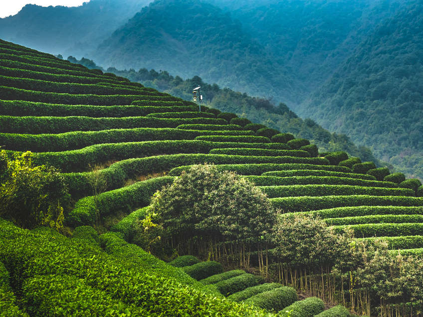 Tea Farms in China