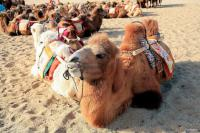 camels dunhuang
