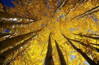 Golden Poplars in Daocheng Yading