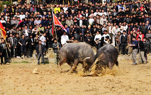 fighting buffaloes