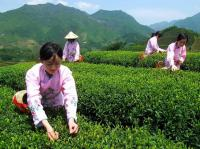 Experienced Tea Pickers
