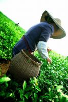 Pick Tea-leaves
