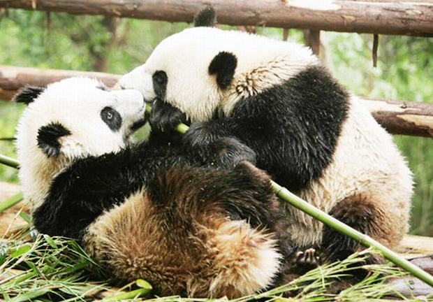Giant Panda Breeding Research Base Eating Bamboo