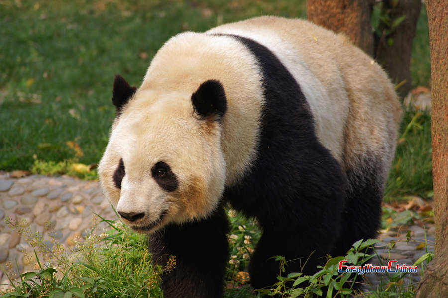 A big panda is walking towards us at Chengdu Panda Breeding and Research Center