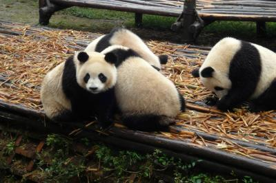 Giant Panda Breeding Research Base in Chengdu