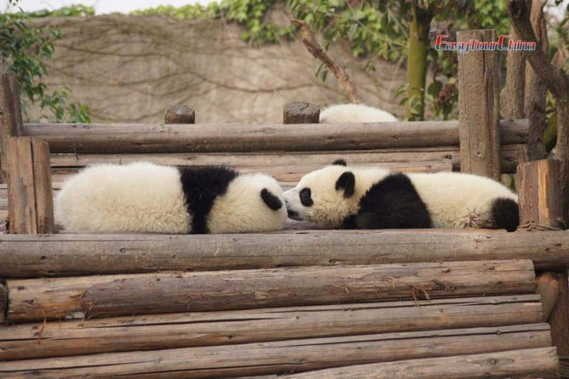 Giant Panda Breeding Research Center - two pandas are kissing