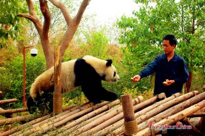 Volunteer at Giant Panda Breeding Research Base
