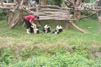 Giant Panda Breeding Research Base Volunteer Feeding