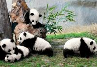 Giant Panda Breeding Research Base Cute Pandas