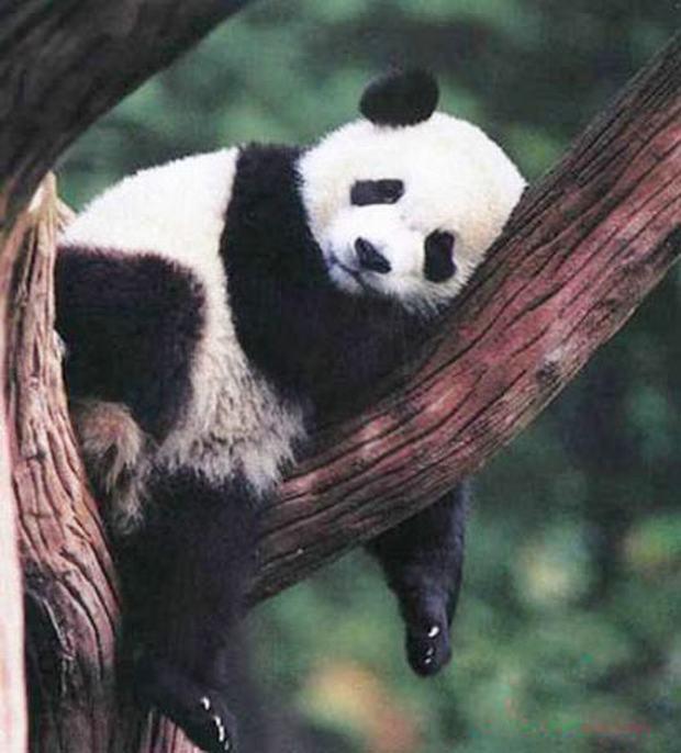 Giant Panda Breeding Research Base Sleep On Tree Chengdu