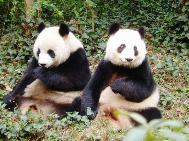 Panda Brothers Giant Panda Pictures Travel Photos Of