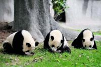 Pandas Are Having A Meal