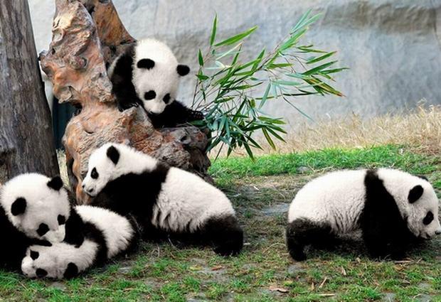 Rüyada Beyaz Panda Şirin Yavrusu Ağaçta Görmek