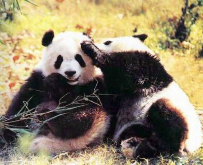 cute pandas pictures travel photos of giant panda  easy
