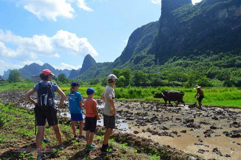 A family visit the countryside of Yangshuo and see buffalo working on the field