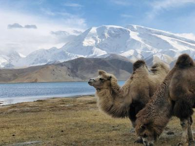 Camels at Karakul Lake