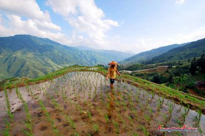 Villagers transplant rice seedlings at Longji