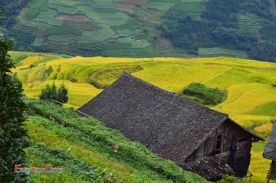 Visit Longji Rice Terraces in autumn