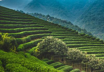 Longjing (Dragon Well) Tea Field Image