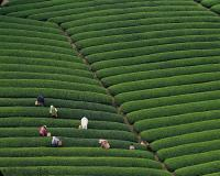 Longjing (Dragon Well) Tea Field