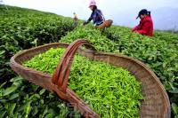 Picking Longjing Green Tea
