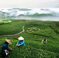 Tea-picking Farmers in Longjing Hangzhou
