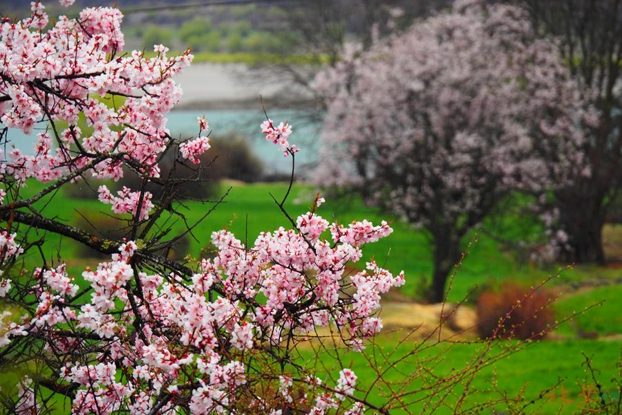 Blooming wild peach flowers at Miyaluo Scenic Resort