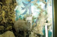 Musk Deer at Mongolian Museum of Natural Histoery