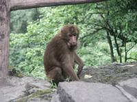 Mt. Emei Monkey