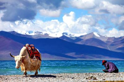 Tibet Yak at Namtso Lake