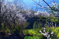 Plum Blossom Forests in Libo