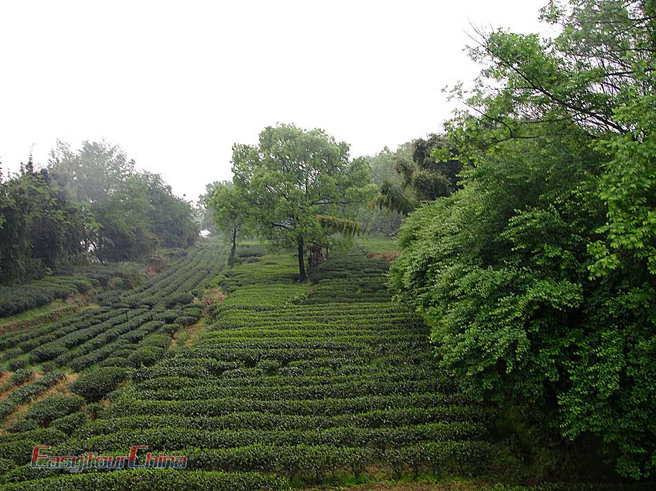 Visit the Royal tea garden on Wuyishan Mountain